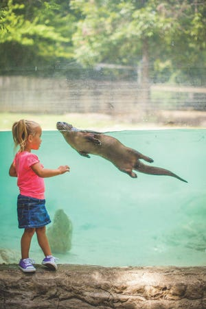 A young girl looks at a swimming otter at the Dickerson Park Zoo.