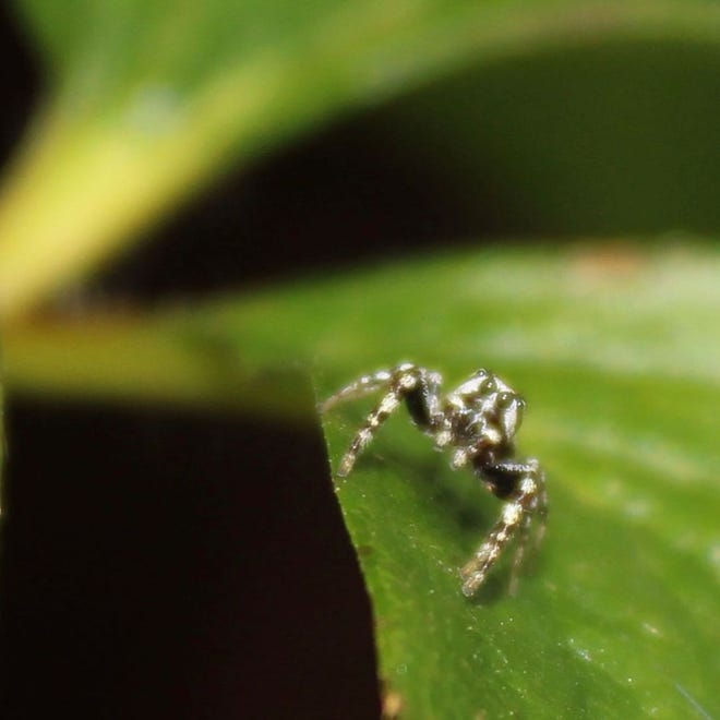 A view of a White Cheeked Jumping Spider.
