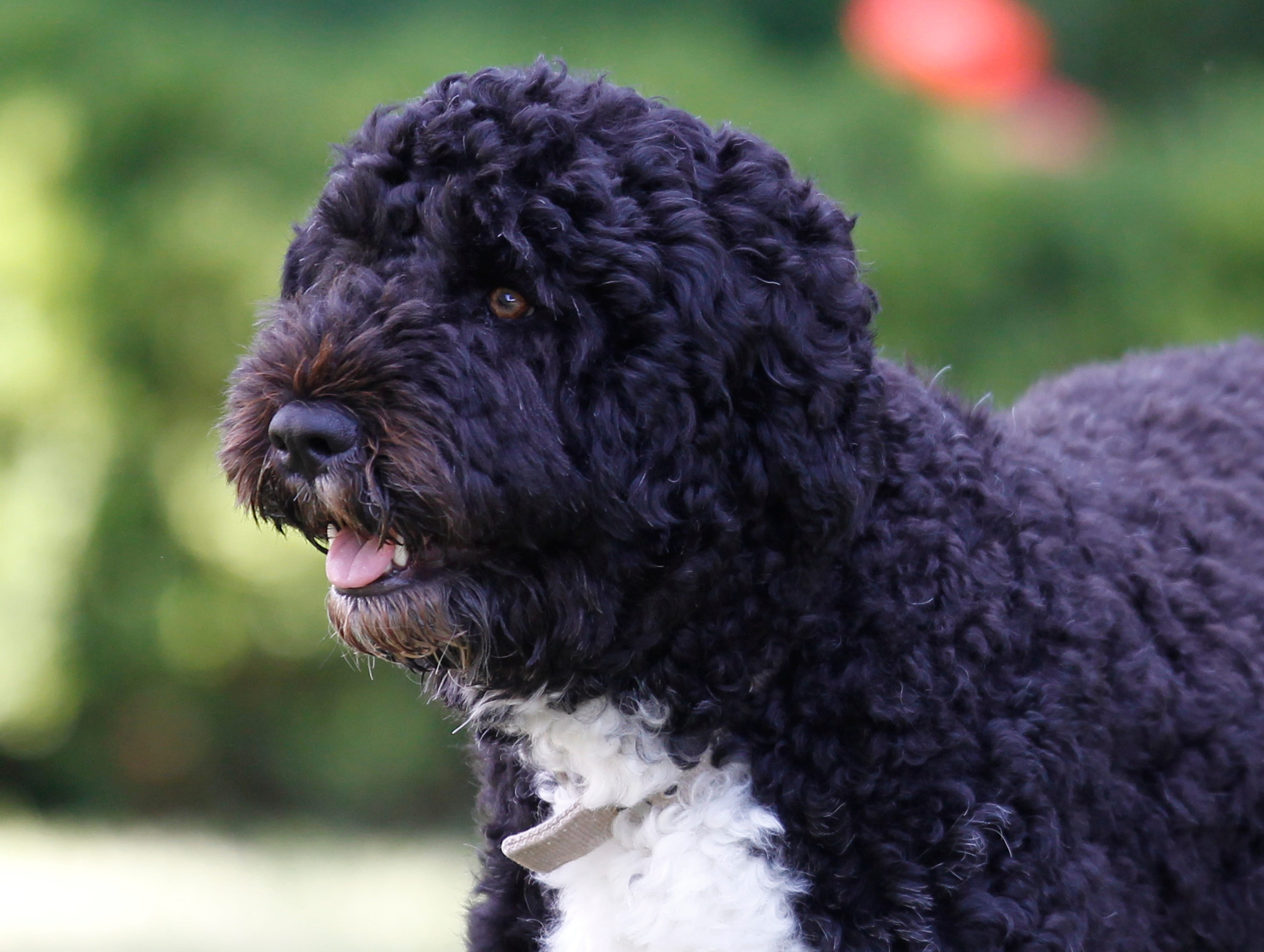 Obama dog Bo, once a White House celebrity, dies from cancer 2