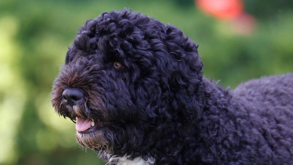 Obama dog Bo, once a White House celebrity, dies from cancer 3