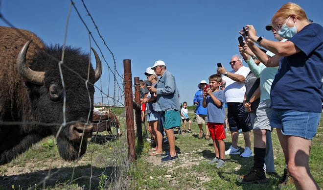 A bison provides visitors to San Angelo State Park with an up close view during an educational event Saturday, May 8, 2021.