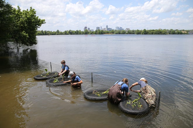 Volunteers, led by aspiring Eagle Scout Addison Huff, secure floating wetlands in Lady Bird Lake on Saturday. The service project, for the Trail Foundation, aims to restore natural shoreline plants and create habitat for aquatic animals.