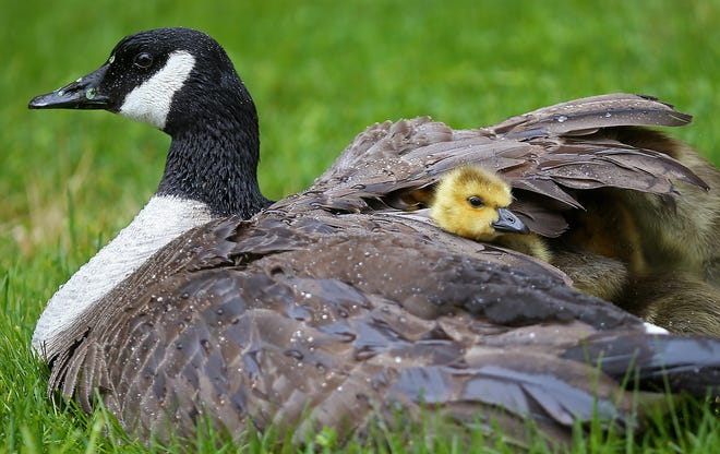 A mother Canada goose keeps her goslings warm and dry on a cold, rainy Mother's Day, Sunday, May 9, 2021, in Akron, Ohio. [Jeff Lange/Beacon Journal]