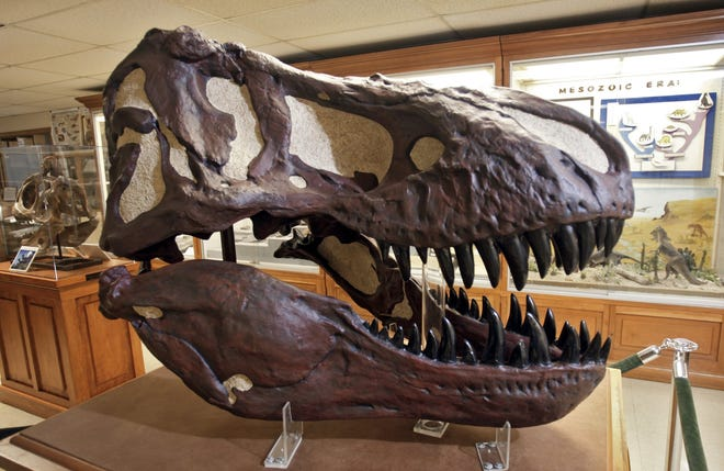 The fossilized skeleton head of a Tyrannosaurus Rex at Ohio State University's Orton Geological Museum, photographed on June 15, 2012