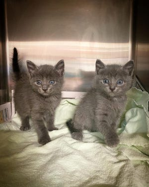 Two kittens currently in need of foster care from the Ardmore Animal Shelter. Over 100 kittens are currently in foster care and will be returning to the shelter in the coming weeks.