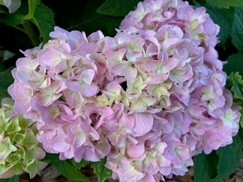 Hydrangeas make great cut flowers and are often used in floral bouquets. White hydrangeas are a favorite for bridal bouquets.