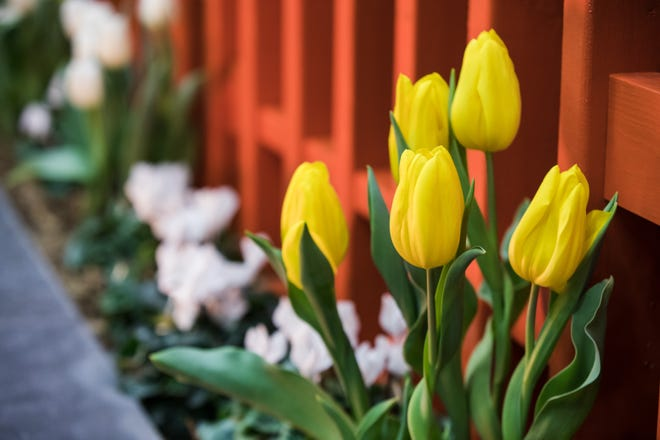 Tulips. Get gardening and landscape ideas ideas at the Oklahoma City Home + Garden Show this weekend at the OKC Fairgrounds.