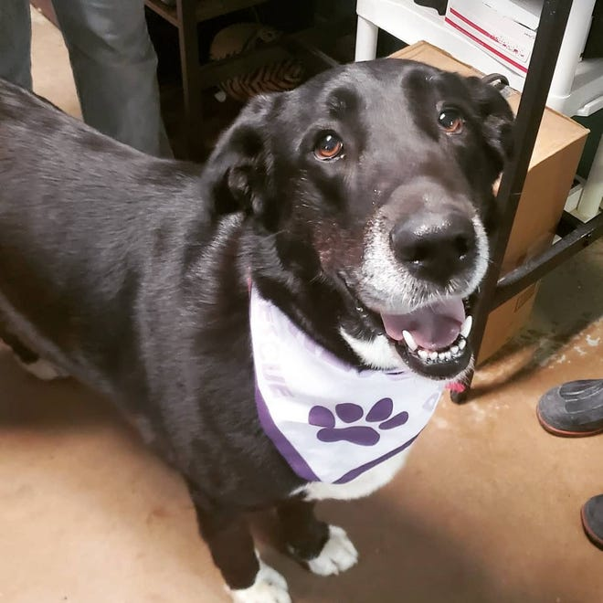 Brisket is an 8-year-plus Pyrenees/Lab mix. She has been at the Erath County Humane Society since April 13, but deserves a great home. She is a big girl weighing in at 102 pounds, but she is not a jumper. She loves people and attention and would make a great family dog! Brisket is good on a leash, dog friendly, and crate trained. She is spayed, fully vaccinated, heartworm negative, and microchipped. For more information on her, visit erathcountyhumanesociety.com.
