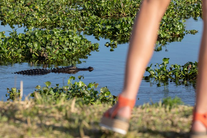 A girl watches alligators swim by at La Chua trail. Despite the proximity, the embankment at this particular part of the trail makes viewing relatively safe.
