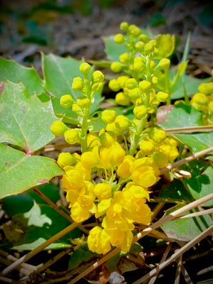 Oregon Grape (Mahonia (or Berberis) repens) grows in Colorado's foothills, montane, and subalpine Life Zones and can be easily found in areas of high canopied pines.