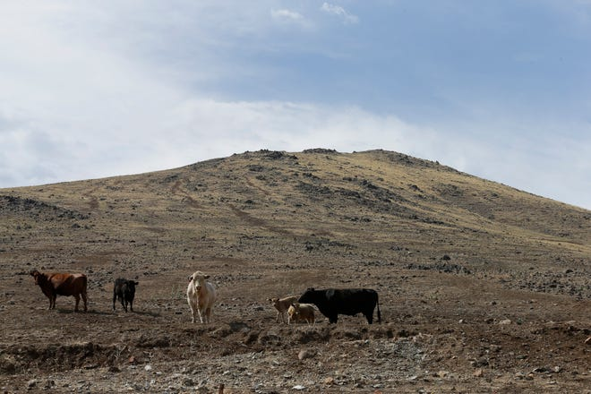 Cattle, graze on a barren hillside in Tulare County outside of Porterville on July 2, 2015. Today, Gov. Newsom declared a drought emergency in 39 counties amid mounting pressure from lawmakers and growers in the Central Valley.