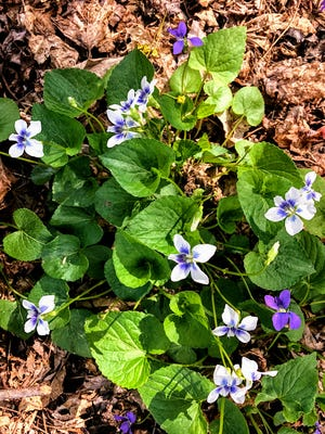 A simple bouquet of hand-picked violets brought tears to the eyes of Jerry Apps' mother.