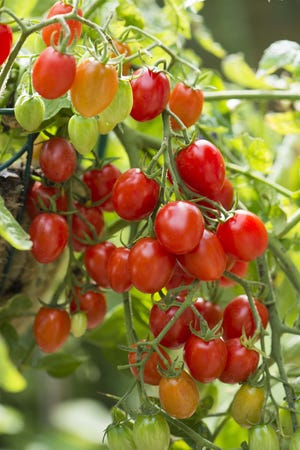 When selecting tomatoes to grow, look for varieties that ripen early, resist diseases and produce good yields.