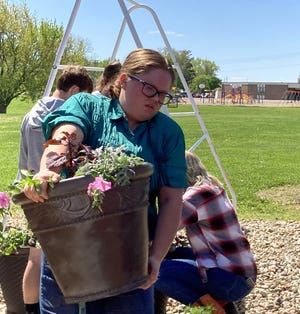 Trent Taber's horticulture students at Cambridge High School worked in the greenhouse on Friday, May 7, to prepare planters for the Village of Cambridge. MacKenzie Olson carried many of them outside for the village to pick up.