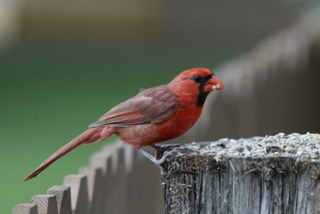 Your backyard birds have grown accustom to their daily feedings. But does their survival depend upon your handout?