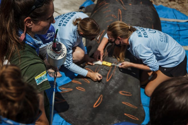 Workers release Chessie the manatee Tuesday at Anchorage Park Marina in North Palm Beach. FWC research associate Amber Howell, left, from Tequesta, hold the GPS tracking device that will be affixed to Chessie before his release.