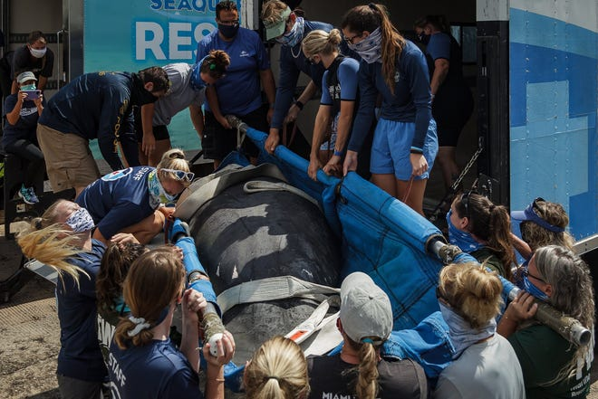 Personnel from Florida Fish and Wildlife Conservation Commission, Miami Seaquarium, Clearwater Marine Aquarium, SeaWorld Orlando, Save the Manatee Club, Palm Beach County Environmental Resource Management and Florida Atlantic University released rehabilitated manatee Chessie Tuesday at Anchorage Park Marina in North Palm Beach.