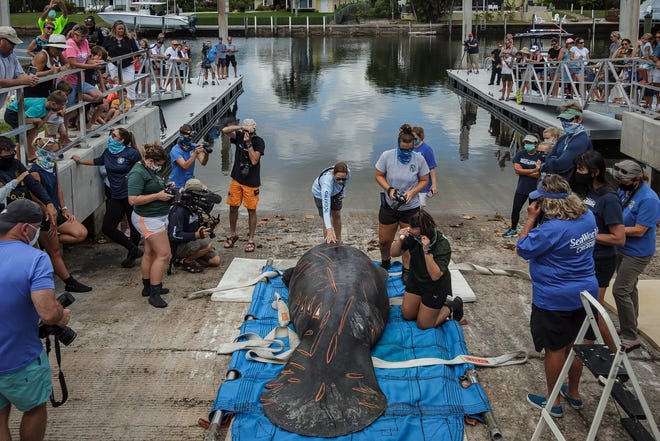 Chessie the manatee is released Tuesday at Anchorage Park Marina in North Palm Beach. Chessie's boat propeller scars and physical attributes were documented before his release.