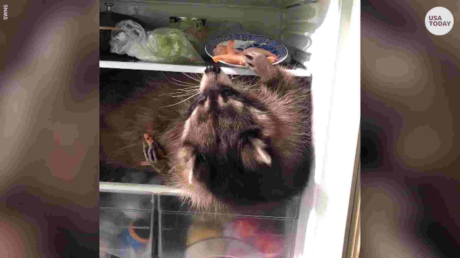 Raccoon climbs into fridge in search of favorite snacks while cat and dog watch