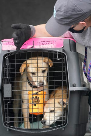 """Erin Robbins, director of transport for Greater Good Charities, prepares to unload a pair of sisters named """"Coqueta and Cookie"""" from a cargo plane, Tuesday, April 20, 2021, at Fort Lauderdale-Hollywood International Airport in Fort Lauderdale, Fla. TheHumane Society of Broward CountyandGreater Good Charities, with Boehringer Ingelheim Animal Health and The AnimalRescueSite, transported multiple shelter dogs from Louisiana, where they are at risk of euthanasia, where they will be able to be adopted to new homes on the EastCoast."""