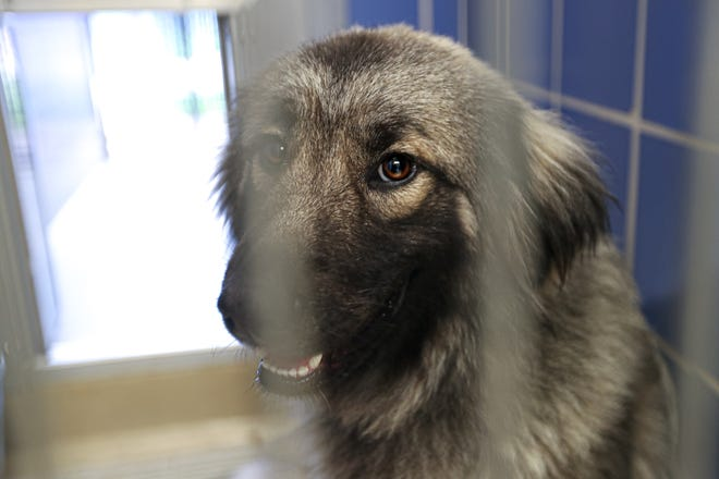 An unnamed dog sits in a kennel Tuesday waiting to be adopted at the Austin Animal Center in East Austin. The center is seeing a long list of animal surrenders as the pandemic eviction moratorium gets closer to ending.
