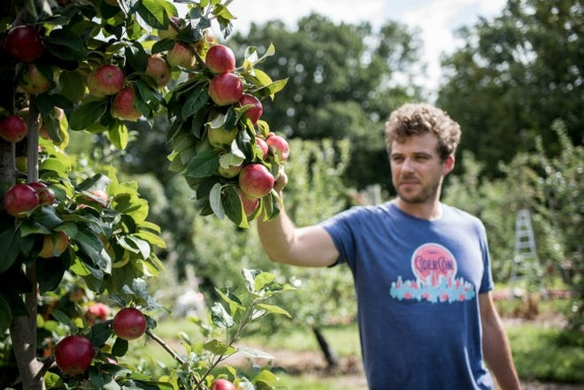 Cornell doctoral student Adam Karl harvests apples from a hard cider variety trial at Cornell Orchards in September.
