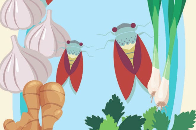 Cicadas on the menu? The bugs are edible, and some foodies are offering recipes.