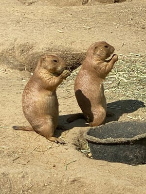 These prairie dogs enjoy a fine meal at the Franklin Park Zoo.