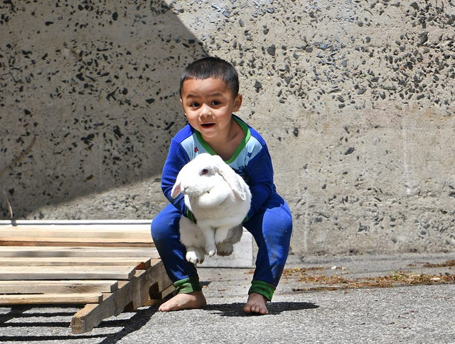 Caleb, 2, scoops up his pet rabbit Snow with his mom Jolanda Duenas nearby Wednesday.