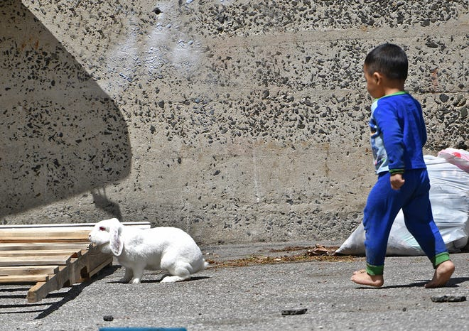 Caleb, 2, chases his pet rabbit with his mother Jolanda Duenas watching Wednesday. The mother and son were allowing Snow some outside time when the rabbit took off. He was rounded up quickly.