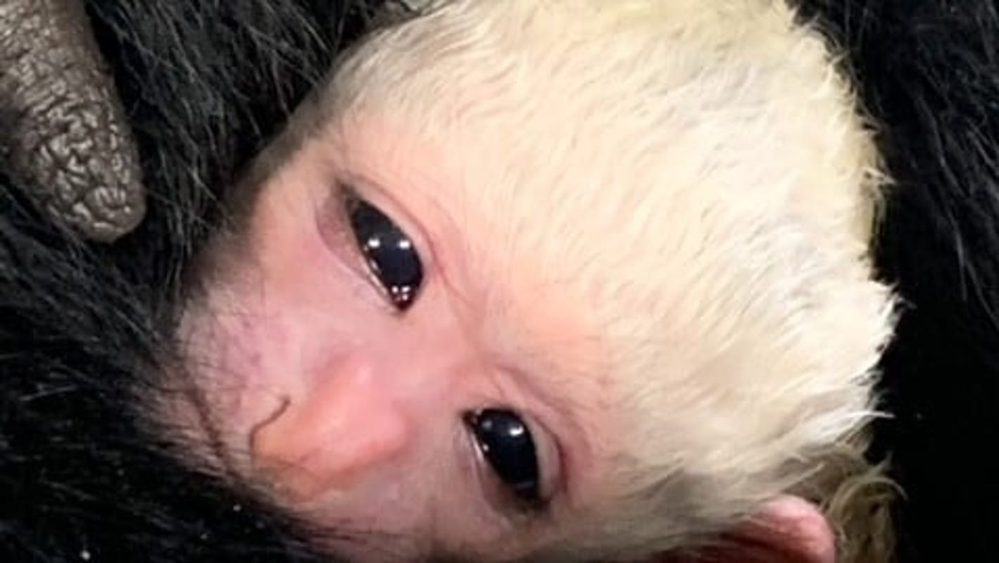 Cincinnati Zoo welcomes newest black and white colobus monkey, fourth born to parents