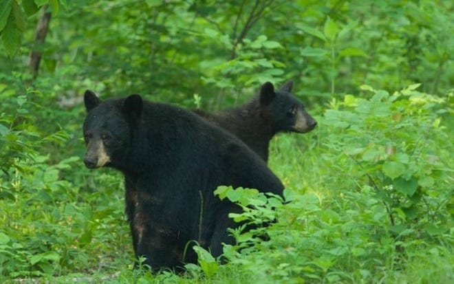 Missouri has a growing population of about 800 black bears, according to Missouri Department of Conservation.
