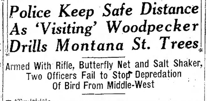 Police Keep Safe Distance As 'Visiting' Woodpecker Drills Montana St. Trees.