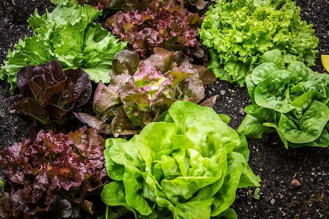 Lettuce has a wide variety of colors and textures.