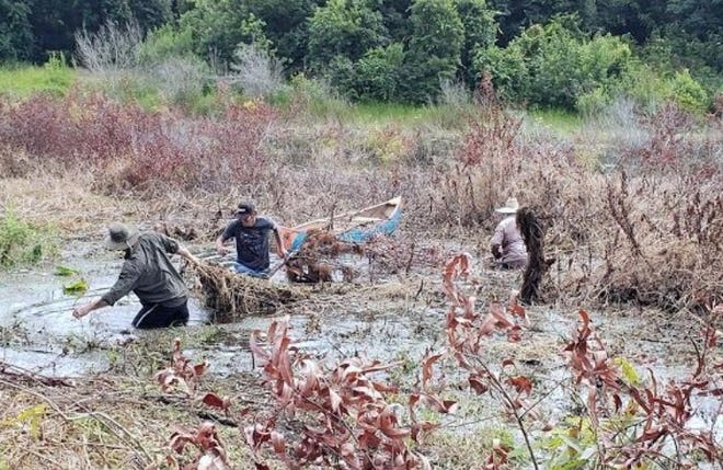 During the summer of 2019, some Lake Helen residents found themselves knee-deep in the city's namesake lake in an effort to remove hydrilla and other invasive plant species that have negatively impacted the health of the lake.