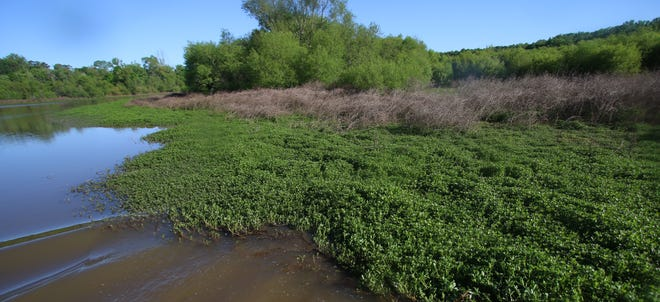 Alligator weed thriving early Thursday morning, May 13, 2021, along the Catawba River.
