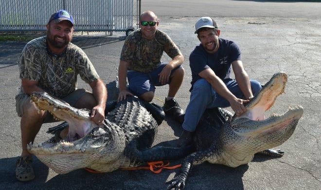 Ian Nance, left, Matthew Fellows and Harris Woodsby with gators taken through the Statewide Alligator Harvest Program.