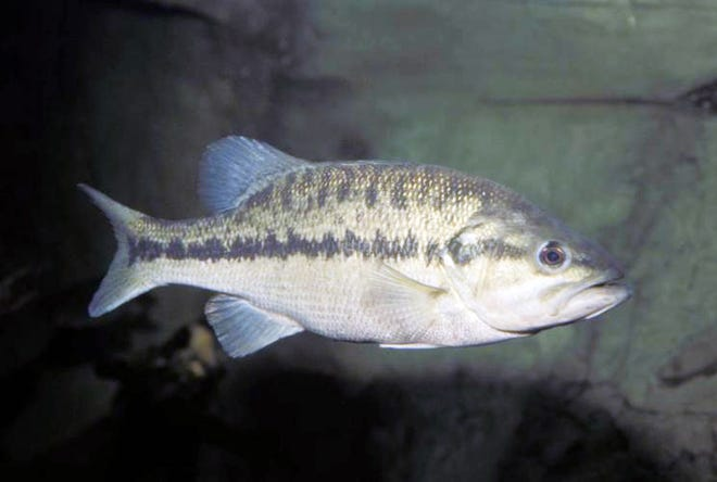 Catch-and-keep season on black bass, such as this largemouth bass, runs May 22 through Feb. 28, 2022.