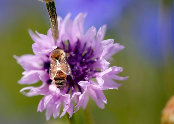 """A bee sits on a wildflowers at Lake Hefner in Oklahoma City on May 12. The insect is featured in the """"Our Secret World of Insects"""" art exhibit from Tracey Bewley and Sheridan Conrad."""