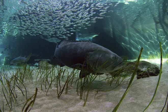 The goliath grouper can weigh more than 600 pounds. The Florida Fish and Wildlife Conservation Commission this week approved taking steps toward lifting a ban on catching the fish.