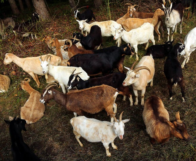 A herd of goats from Vashon-based Rent-A-Ruminant gather while clearing vegetation on the the corner of Highway 305 and High School Road on Bainbridge Island on Thursday. The Bainbridge Island Parks Foundation brought the goats in to clear the vegetation for the Sound to Olympics Trail Sakai Pond Connector.