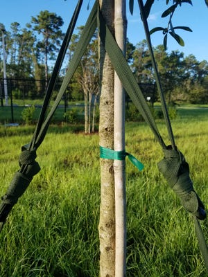 The straps on this young tree are too high, and it's original stake is attached too tightly for the tree to grow properly.