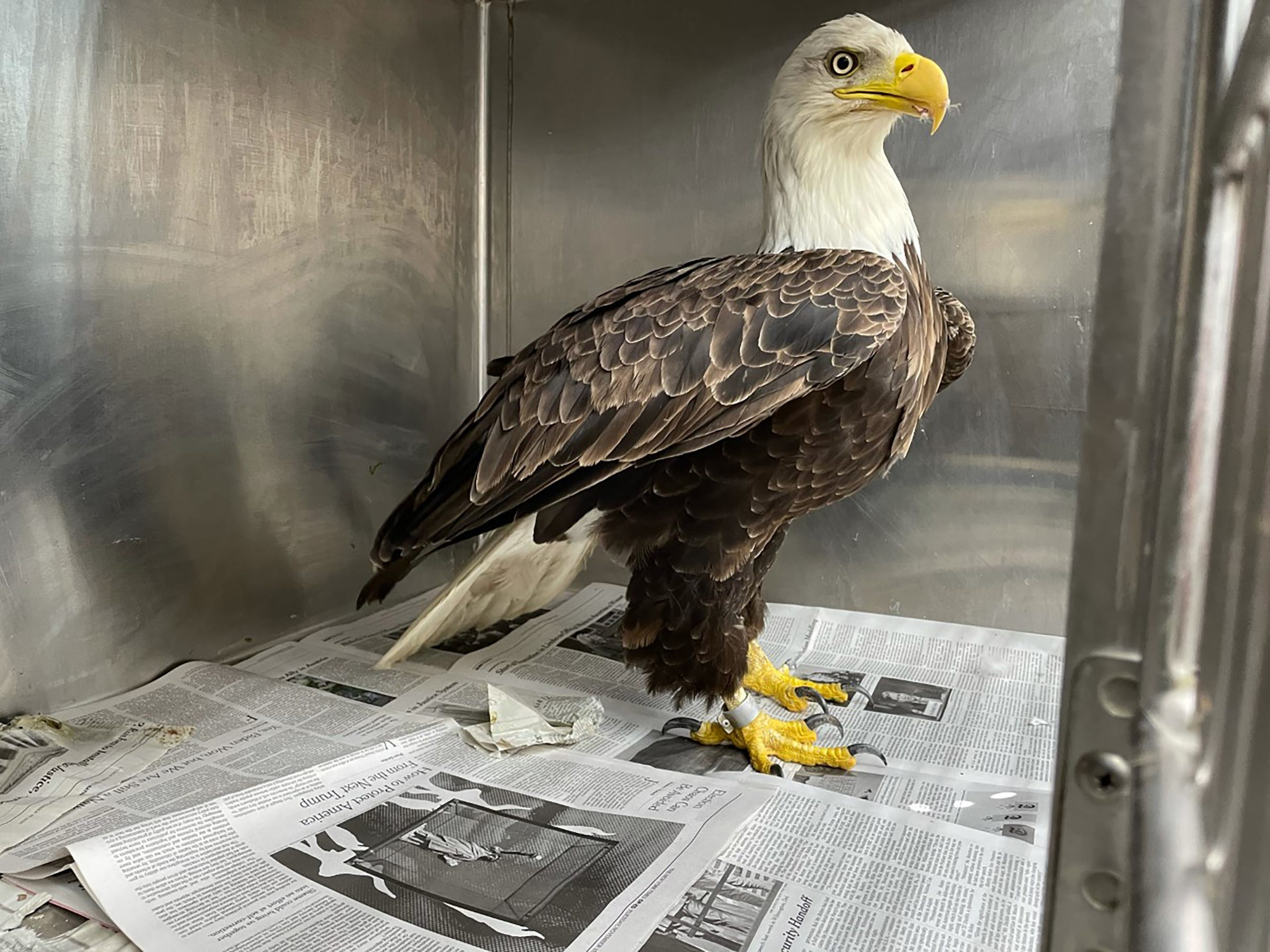 Bald eagle from Ann Arbor nest cam rescued after tangled in fishing line