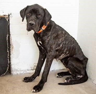 """Pandora, a Great Dane mix, was among more than a dozen animals found living in """"deplorable conditions"""" nearly a month ago, officials said."""