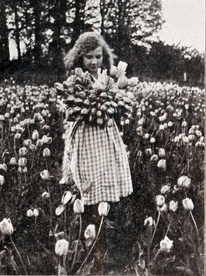 Sheaves of Tulips destined for the Packing shed at the Oregon Bulb Company's farm on Wallace Road in West Salem c. 1921-24.