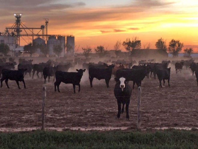 Cattle await their fate in a feedlot next to the JBS beef plant in Cactus, Texas.