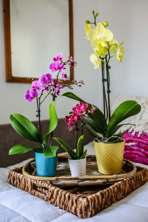 When it comes to style and elegance, orchids are a great choice for indoor gardeners and DIY home designers.