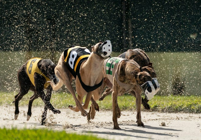 Greyhounds charge out of the starting box at the Palm Beach Kennel Club in West Palm Beach on Dec. 31, the last day of legal dog racing in Florida. GREG LOVETT/PALM BEACH POST