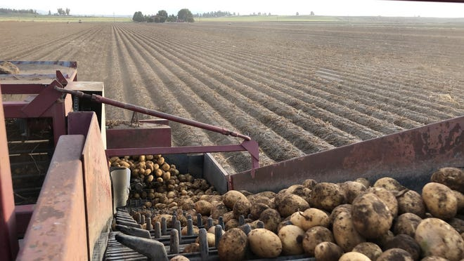 The Klamath Basin's prized potatoes are harvested at a farm in Malin, Ore.