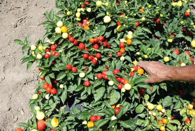 The Pueblo Primrose was produced by Mike Bartolo. The pepper took 13 years to cultivate and breed.